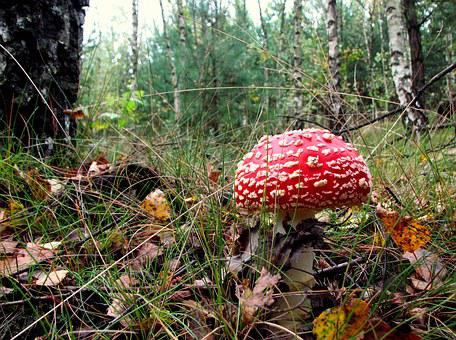 Amanita, Mushroom, Polyana, Lea, Forest, Birch, Grass