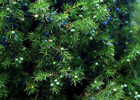 Juniper, Plant, Bush, Juniper Fruit, Autumn, Nature