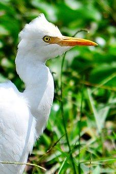 Crane, White Heron, Beak, Yellow Beak, Waiting, Bird