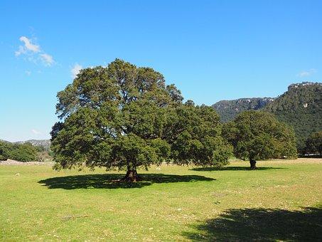Tree, Camphor Tree, Cinnamomum Camphora, Camphor