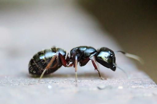Ant, Insect, Animal, Macro, Antenna, Pest, Colony