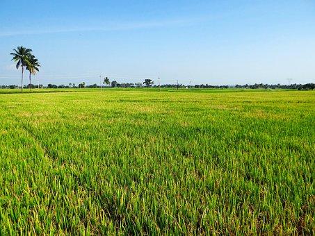 Paddy Cultivation, Gangavati, Karnataka, India, Crop