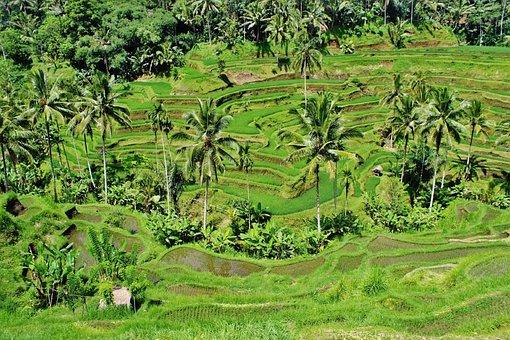 Greenery, Paddy, Fields, Rice, Crops, Palms, Coconut