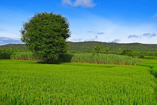 Rice, Paddy, Cultivation, Agriculture, Field, Farm