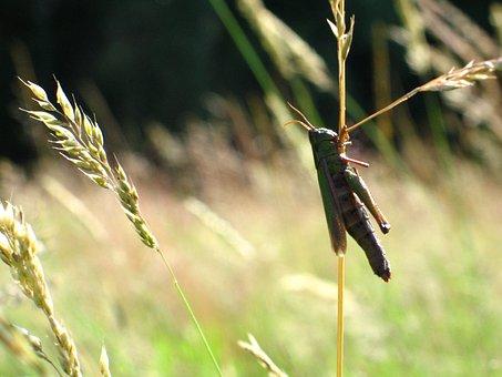 Grasshopper, Grass, Jump, Meadow, Konik, Field