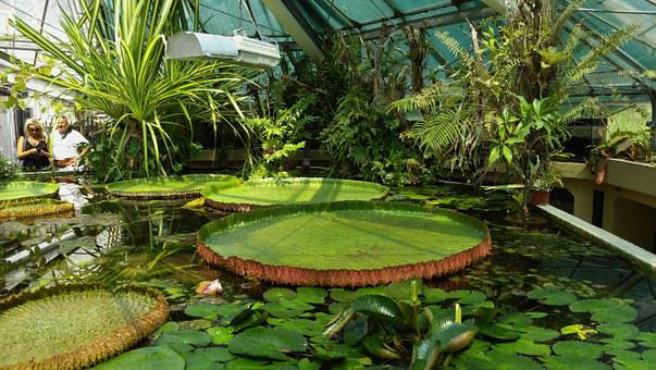 Flower, Giant Water Lily, Jardin Des Plantes, Budapest
