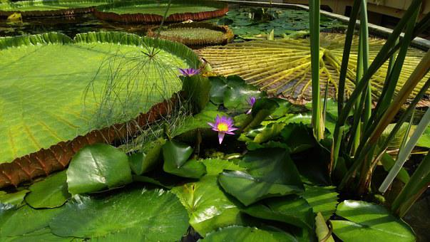 Giant Water Lily, Flower, Jardin Des Plantes, Budapest