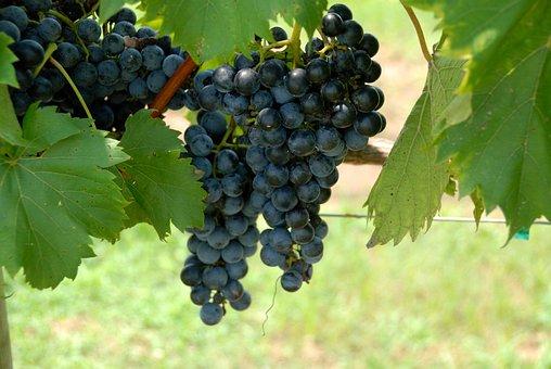 Grapes, Vine, Vineyard, Fruit, Wine, Food, Agriculture