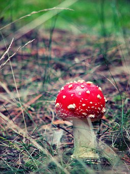 Amanita, Mushroom, Poisonous Mushrooms, Grass, Forest
