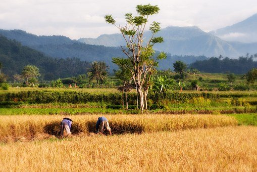 Paddy, Bali, Rice Cultivation, Rice Harvest, Harvest