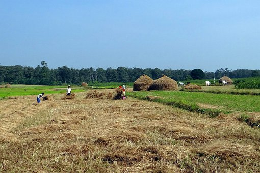 Paddy, Harvest, Rice, Fields, Hay Stacks, Workers