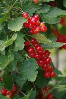 Red, Currant, Fruit, Bunch Of Grapes, Healthy, Garden