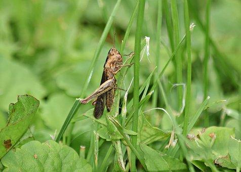 Grasshopper, Grass, Konik, Green, Nature, Macro, Insect
