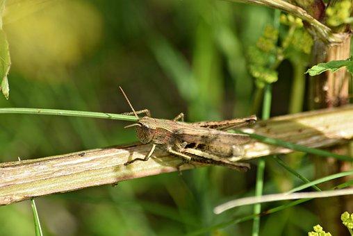 Grasshopper, Grass, Konik, Green, Nature, Macro