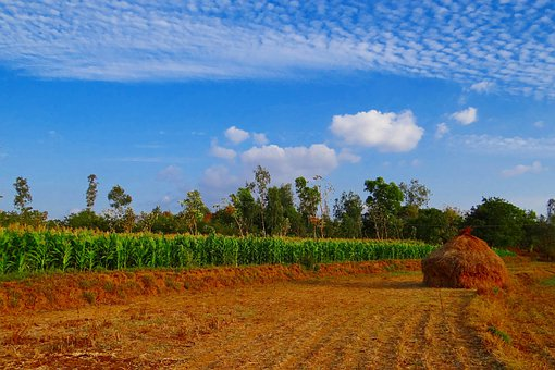 Maize, Crop, Corn, Paddy-stack, Cultivation
