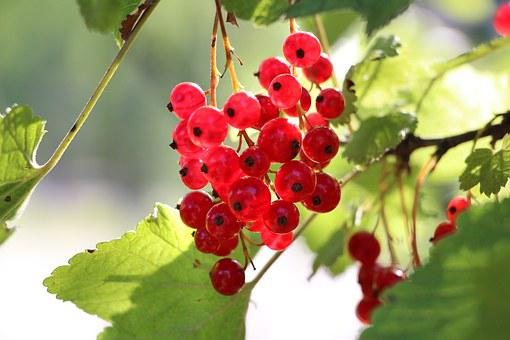 Currants, Plant, Fruit, Red, Branch, Nature, Grapes