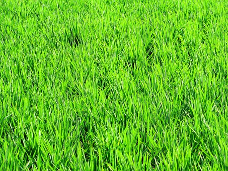 Paddy, Fields, Greenery, Rice, Crops, Agriculture