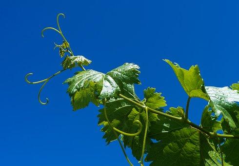 Grape, Vine, Parra, Vineyard, Harvest, Cultivation