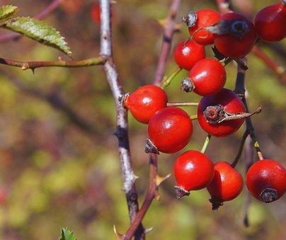 Fruit, The Fruit Of The Rose, Wild Rose, Plant, Bush