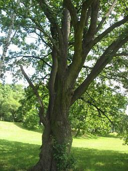 Tree, Meadow, Polyana