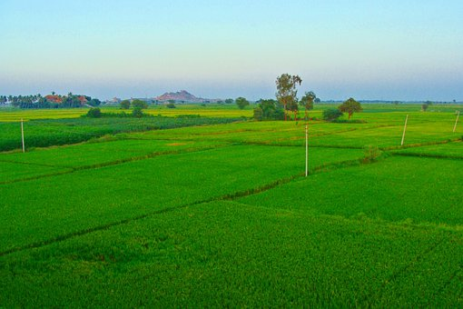 Rice Fields, Paddy Cultivation, Tungabhadra Plains