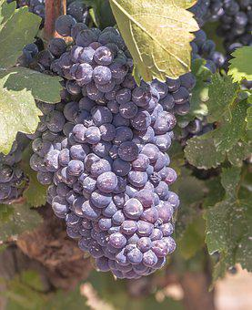 Grapes, Vine, Parra, Vineyard, Harvest, Cultivation