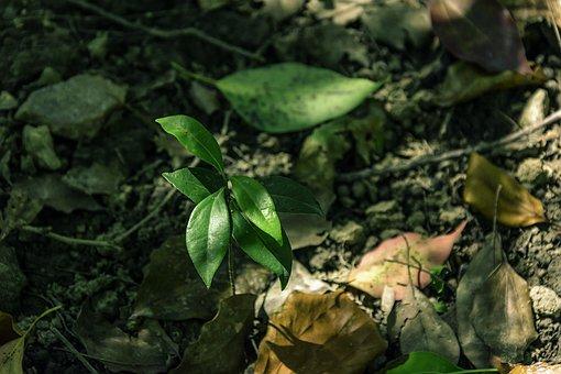 Woods, Sapling, Cinnamomum Camphora, Leaf, Dead Leaves