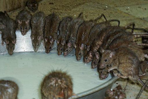 Rodent, Mammal, Animal, Cute, Rat, Milk, Nager