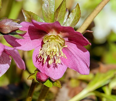 Christmas Rose, Anemone Blanda, Flower, Blossom, Bloom