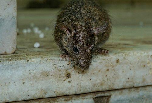 Rodent, Mammal, Animal, Cute, Rat, Nager
