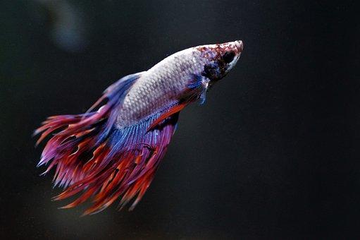 Betta, Fishy, Aquarium, Fish, Warrior, Asian