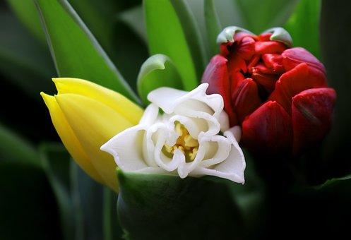 Tulip, Flower, Plant, Nature, Garden, Blossom, Bloom