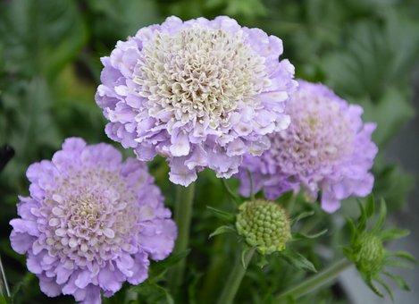 Flower, Flowers Color Purple, Buttons, Green Foliage