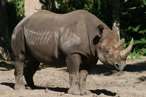 Wildlife, Animal, Nature, Mammal, Wild, Big, Rhinoceros