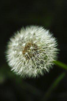 Dandelion, Nature, Plant, Flower, Background, Close-up