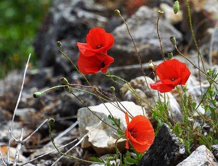 Wildflower, Pippy, Red, Rock, Rockery, Nature, Flora