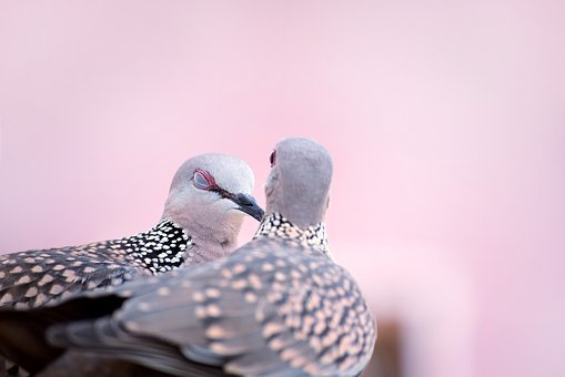 Bird, Nature, Spotted, Dove, Love