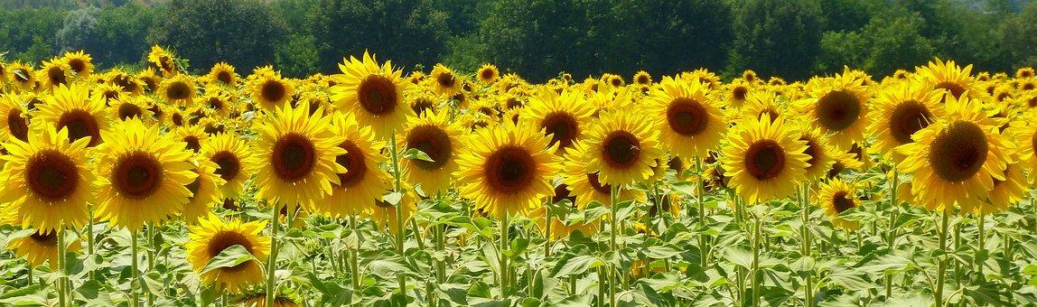 Nature, Summer, Plant, Sunflower, Field, Flower, Yellow