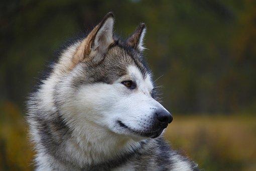 Mammals, Sweet, Portrait, Alaskan Malamute, Sled Dog