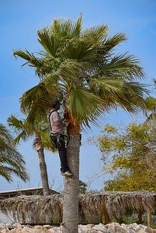 Pruning, Prune, Palm Tree, Tropical, Exotic, Worker