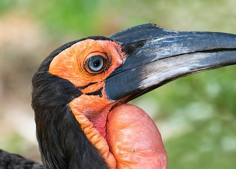 Southern Ground Hornbill, Bird, Avian, Hornbill, Beak