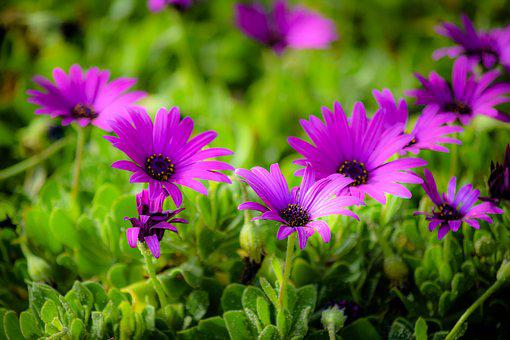 African Daisy, Flower, Flora, Nature, Blooming, Spring