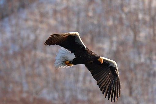 Bird, Wild Animals, Raptor, Eagle, Natural, Steller