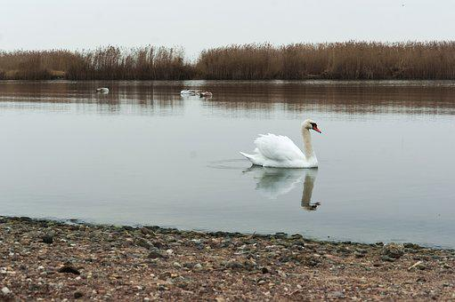Swan, Swimming, Waterfowl, White, Beautiful, Beauty