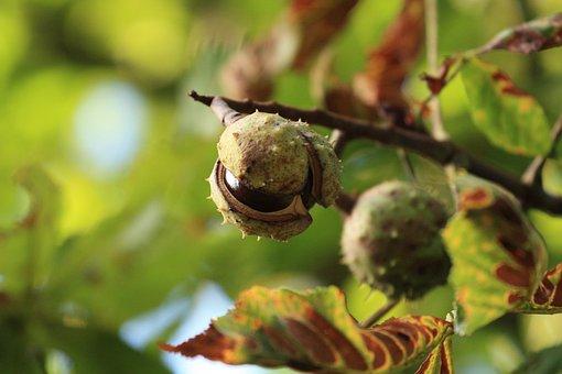 Nature, Chestnut, Plant, Tree, Growth