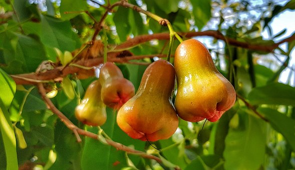 Rose Apple, Bell Apple, Fruit, Tropical, Food, Nature