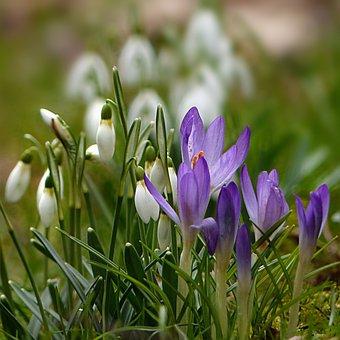 Nature, Plant, Snowdrop, Galanthus, White, Closed