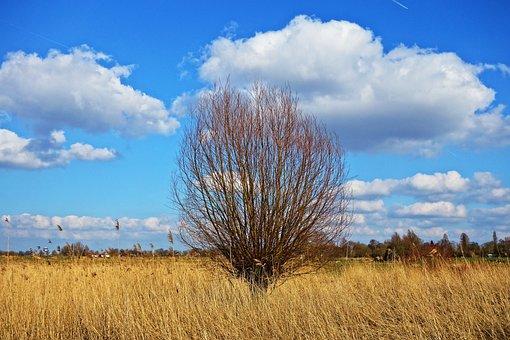 Willow, Pollard, Pollarded Willow, Tree, Reeds