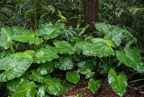 Native Lily, Cunjevoi, Alocasia Brisbanensis, Leaf