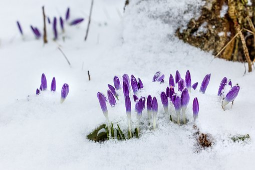 Early Bloomer, Snow, Winter, Nature, Cold, Background